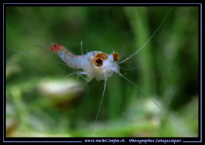 Face to face with this Little Freshwater Shrimp, around 1... by Michel Lonfat 